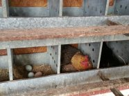Chickens laying eggs.