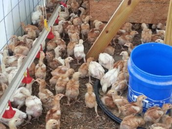 A mix of white cornish-cross chickens and French red birds are raised at Grassroots Farms.