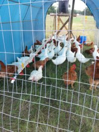 The Pekin Ducks and chickens are housed in the same cage.