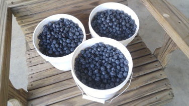 3 gallons of fresh, organic blueberries